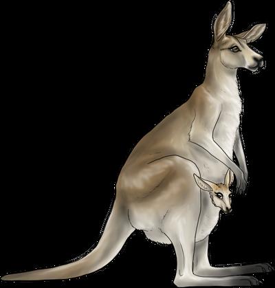 Kangaroo Companion