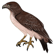 Red Tail Hawk Companion